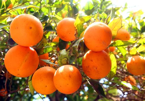 Апельсины в Марокко - одни из самых сладких