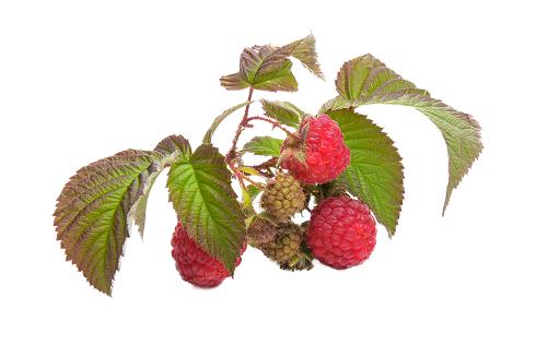 В малине полезны не только ягоды, но и листья