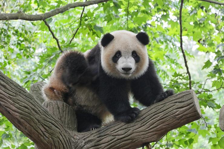не упустите возможность увидеть панд в Сан-Диего
