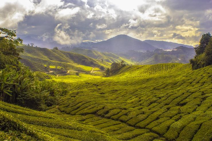 Чайные листья собирают на плантациях
